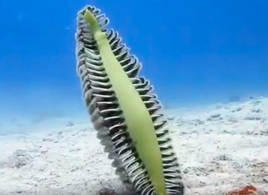Unusual Sea Critter of the Week: Sea Pen