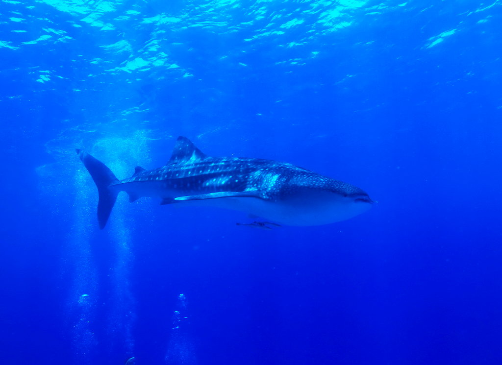 Whale Shark spotted on Agincourt Reef!