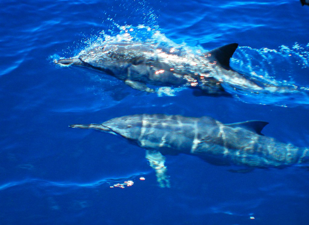 Dolphins join Wavedancer for the cruise back to Port!