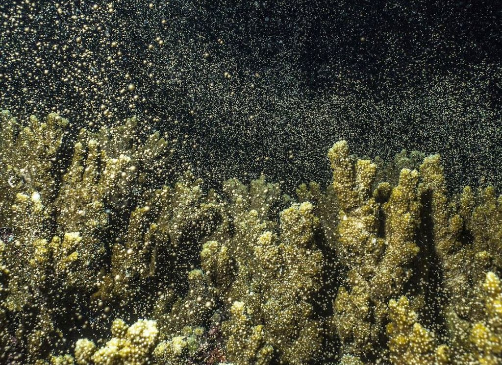 Mass coral spawning demonstrates Reef resilance