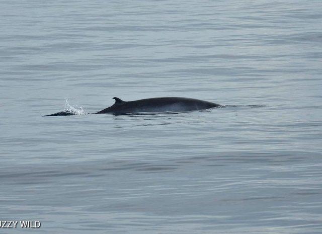 Omura Whales spotted on Silversonic!